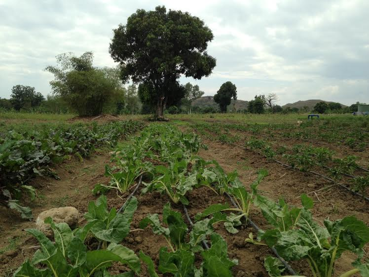 Drip Irrigation Means Sustainable Year Round Crop Growth